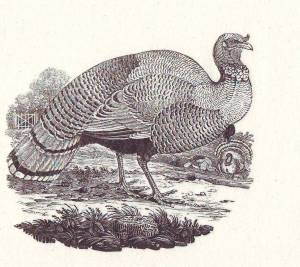 thomas-bewick-the turkey